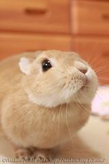 IMG_0391j (Rabbit's Album) Tags: pets cute rabbit bunny animals coco netherland       canonx7i