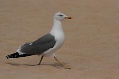 Yellow Legged Gull (Wildlife & Landscape Photography by Andrew Mozley) Tags: fuerteventura yellowleggedgull correlajo