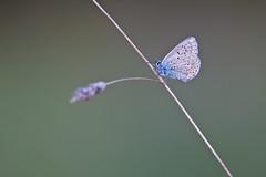 IMG_7186 (adrien.pcctt) Tags: papillon insecte argusbleu