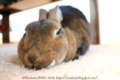 IMG_0723j (Rabbit's Album) Tags: pets cute rabbit bunny animals  choco   minirex    canonx7i x7i