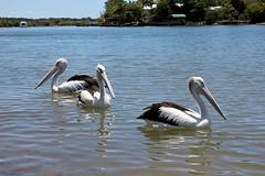Pelican reflections (Gillian Everett) Tags: reflections australia pelican queensland noosariver tewantin