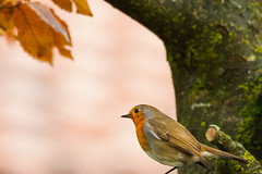 Rouge-gorge (thomasc.photos) Tags: bird birds canon rouge 1 d mark sigma os 150 ii 1d gorge 500 tarn oiseau dg oiseaux rougegorge markii 1dmarkii canon1dmarkii hsm 150500 sigma150500