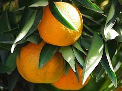 PB282111 South Pasadena 20131128 (caligula1995) Tags: tree oranges southpasadena 2013