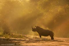 Warming up (hvhe1) Tags: africa wild nature animal sunrise mammal wildlife rhino whiterhinoceros ceratotheriumsimum breitmaulnashorn rhinocros specanimal squarelippedrhinoceros hvhe1 hennievanheerden witteneushoorn locationwithheld rhinocrosblanc