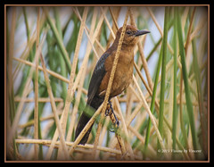 Female Boat Tailed Grackle (Visions by Vincent) Tags: ngc grackle juggs