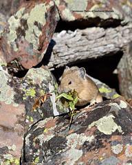 Working (Photos of Southwest Montana) Tags: autumn winter southwest rabbit bunny fall nature rock brad forest nikon montana hare photos wildlife sigma national dillon christensen pika beaverhead beaverheaddeerlodge