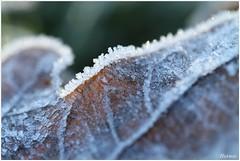 frozen leave (7D023368) (Hetwie) Tags: winter leave blad ijs vorst helmond ijskristallen brouwhuis frozenleave bevrorenblad