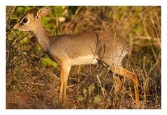 Madoqua guentheri - Dik-dik (Marc Nollet) Tags: kenya safari kws dikdik natuurfotografie tsavowest sigma500mm nollet madoquaguentheri canoneos7d kenia2014 spotkenyasafaris