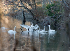 Trumpeter Swans (bitzy1957) Tags: nature water birds lakes swans arkansas