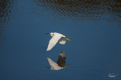 Floating Reflection (Benjamin Coy) Tags: vacation house reflection bird sc nature water birds flying wings wildlife flight feathers conservation waterfowl egret isleofpalms