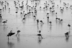 Flamencos (ramosblancor) Tags: blackandwhite espaa naturaleza blancoynegro nature birds spain wildlife flamingo aves animales phoenicopterusroseus flamenco doana arrozal phoros ricecrop