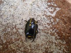 besouro-da-roseira Rutela lineola (Scarabaeidae: Rutelinae: Rutelini) (Paulo Renato Huppes) Tags: scarabaeidae rutelinae lineola rutela rutelini besourodaroseira