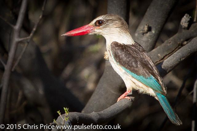 Brown-Hooded Kingfisher, Madikwe Game Reserve