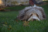 Lying Dog (pogmomadra) Tags: portrait hairy dog brown white animal eyes nikon collie paddy bokeh working saturday canine explore shaggy bearded beardie beardedcollie coated cliche hcs explored pogmothoin abigfave brownwhitedog d5300 happyclichesaturday choxxstart nikond5300 artistsofagin
