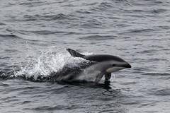Dusky Dolphin (Baractus) Tags: beagle argentina john dolphin le dusky channel oates boreal inthewakeofshackleton