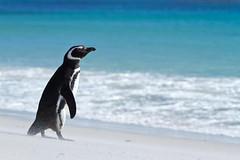 This Looks Like the Caribbean (minus the Penguin) (jpmckenna - Tenquille Lake Up Next) Tags: penguin penguins falklandislands islasmalvinas magellanicpenguins spheniscusmagellanicus newisland penguinonbeach