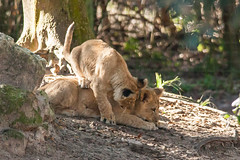 JaxZoo_1-19-15-4464 (RobBixbyPhotography) Tags: gorilla lion lemur lions cubs lioness