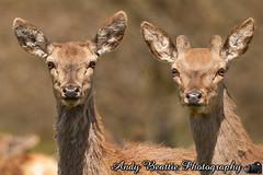 2016-05-04-014 (Andy Beattie Photography) Tags: uk england nature mammal photography europe photographer wildlife yorkshire deer halifax ungulate reddeer northyorkshire westyorkshire ripon eventoed pecora cervuselaphus hoofed andybeattie andybeattiephotography