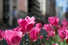 State Street (Andy Marfia) Tags: pink flowers urban chicago nature 35mm buildings iso100 cityscape purple tulips loop bokeh statestreet f28 11250sec d7100
