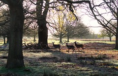 Richmond Park, London (elisecavicchi) Tags: park morning england sunlight london nature dawn early spring shadows britain great richmond deer explore
