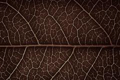 Just Leaves - Gum Tree Leaf (fingerprints1148) Tags: red leaf foliage veins gumtree justleaves macromondays