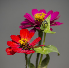 Zinnia /  (shiplu2010) Tags: flowers macro nature colors zinnia exploreon17052016