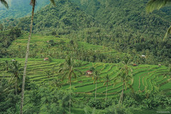 Rice paddy fields, cascade rice terrace (tr4live) Tags: travel bali food mountain plant green nature field landscape asian thailand asia pattern rice paddy terrace farm hill vietnam valley plantation agriculture terraced