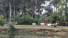 (Kelly Rene) Tags: trees people pet pets water animals cambodia southeastasia cattle reservoir kh dailylife siemreap indochina baray srahsrang krongsiemreap