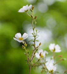 Sahuc Rock Rose (Halimiocistus Sahucii) (Alona Azaria) Tags: white flores flower green fleur fleurs bokeh pastel fiori fiore 2470mmf28 halimiocistussahucii nikond800 sahucrockrose