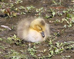 Napping gosling (Victoria Morrow) Tags: droh dailyrayofhope