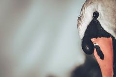 Gustav the Swan (simonpe86) Tags: eye swan focus profile gustav schwan auge profil breisgau schrfe