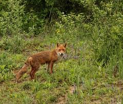 Fox, Goupil (jymandu) Tags: fox animaux renard goupil