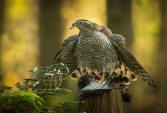 Havik / Northern Goshawk / Autour des Palombes (Gladys Klip) Tags: explore havik northerngoshawk autourdespalombes