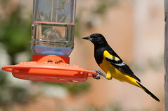 Beam it in, Scotty. (martytdx) Tags: ca male birds lifelist birding feeder blackbird oriole icteridae icterus icterusparisorum scottsoriole jacumbahotsprnigs