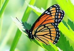 viceroy at Cardinal Marsh IA 854A7956 (lreis_naturalist) Tags: county butterfly cardinal reis iowa larry marsh viceroy winneshiek