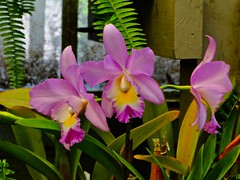 Orchids (phxdailyphotolady) Tags: california garden lavender greenhouse bloom coronadelmar shermangarden