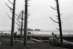 Four trees (that analogue guy) Tags: washington nikon olympics olympicnationalpark fm rialtobeach deadtrees adox 11100 pyrocathd nikkorh28mmf35 minimalagitation chs100ii
