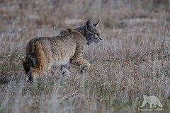 Bobcat (fascinationwildlife) Tags: california winter wild usa male nature animal america cat mammal feline wildlife natur central rufus valley elusive bobcat lynx luchs rotluchs