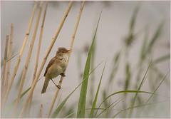 Reed Warbler (cconnor124) Tags: nature canoneos natue smallbirds songbirds naturephotography wildbirds reedwarbler birdphotography uknature shieldofexcellence ukbirds canon100400lens canon760d