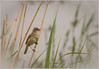 Reed Warbler (Charles Connor) Tags: nature canoneos natue smallbirds songbirds naturephotography wildbirds reedwarbler birdphotography uknature shieldofexcellence ukbirds canon100400lens canon760d