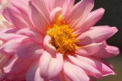 dahlia (atsjebosma) Tags: pink dahlia flower macro rose spring heart ngc may thenetherlands npc hart mei groningen lente bloem voorjaar 2015 bloeien atsjebosma coth5