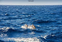 Ride The Waves (Fredrik Lindedal) Tags: ocean sea sky water amazing jump waves malta dolphins boatride lindedal
