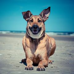 Lazy Beach Wooja (Darren LoPrinzi) Tags: portrait rescue beach smile smiling canon square happy newjersey mutt mix nj ears squareformat 5d canon5d germanshepherd jerseyshore rhodesianridgeback avalon miii manchesterterrier avalonnj wooja
