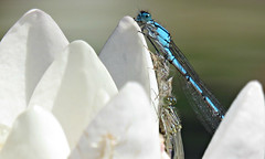 Hanging On! ('cosmicgirl1960' NEW CANON CAMERA) Tags: pink blue red white green nature water gardens wales lily dragonflies cymru parks couples insects bugs lilies pairs mating snowdonia bodnant damselflies eryri gardd yabbadabbadoo