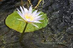 Lotus Flower in the Cairo Museum fountain (Amberinsea Photography) Tags: fountain beautiful lotus egypt cairo lotusflower cairomuseum amberinseaphotography lovelysublime
