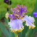Pale purple Iris