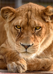Eye contact (hunblende) Tags: lion lioness