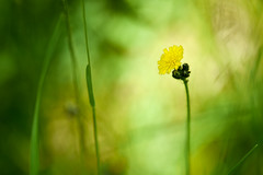 Alone (cosovan.vadim) Tags: light flower nature field grass yellow spring nikon alone natural bokeh d750 tamron 70200mm