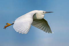 Little Egret (Mart R Porter @MartRP_Photos) Tags: bird nature birds inflight wildlife r porter egret mart littleegret egretta garzetta elmleynnr