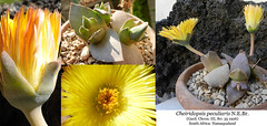 Cheiridopsis peculiaris (collage) (Succulents Love by Pasquale Ruocco (Stabiae)) Tags: southafrica succulent mesembryanthemum mimicry succulents stabiae namaqualand mimetismo piantegrasse aizoaceae succulente mesembryanthemaceae cheiridopsis cactusco mesembs pasqualeruocco mesembryanthema forumcactusco cheiridopsispeculiariscollage peculiariscollage